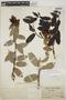 Cavendishia bracteata (Ruíz & Pav. ex J. St.-Hil.) Hoerold, PERU, J. F. Macbride 3558, F