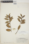 Cavendishia bracteata (Ruíz & Pav. ex J. St.-Hil.) Hoerold, PERU, 9695, F