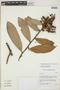 Cavendishia bracteata (Ruíz & Pav. ex J. St.-Hil.) Hoerold, PERU, J. L. Luteyn 15521, F