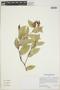 Cavendishia bracteata (Ruíz & Pav. ex J. St.-Hil.) Hoerold, Peru, M. McMahon 644, F