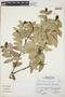 Cavendishia bracteata (Ruíz & Pav. ex J. St.-Hil.) Hoerold, Peru, S. Leiva G. 1366, F