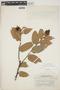 Cavendishia bracteata (Ruíz & Pav. ex J. St.-Hil.) Hoerold, Peru, H. E. Stork 10131, F