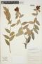 Cavendishia bracteata (Ruíz & Pav. ex J. St.-Hil.) Hoerold sensu lato, Peru, I. M. Sánchez Vega 5775, F