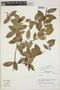 Cavendishia bracteata (Ruíz & Pav. ex J. St.-Hil.) Hoerold, Peru, J. M. Cabanillas S. 777, F