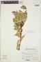 Cavendishia bracteata (Ruíz & Pav. ex J. St.-Hil.) Hoerold sensu lato, Peru, E. Alayo 1, F