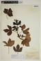 Jatropha gossypiifolia L., British West Indies, W. C. Fishlock 428, F