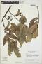 Virola Aubl., COLOMBIA, R. E. Schultes 14849, F