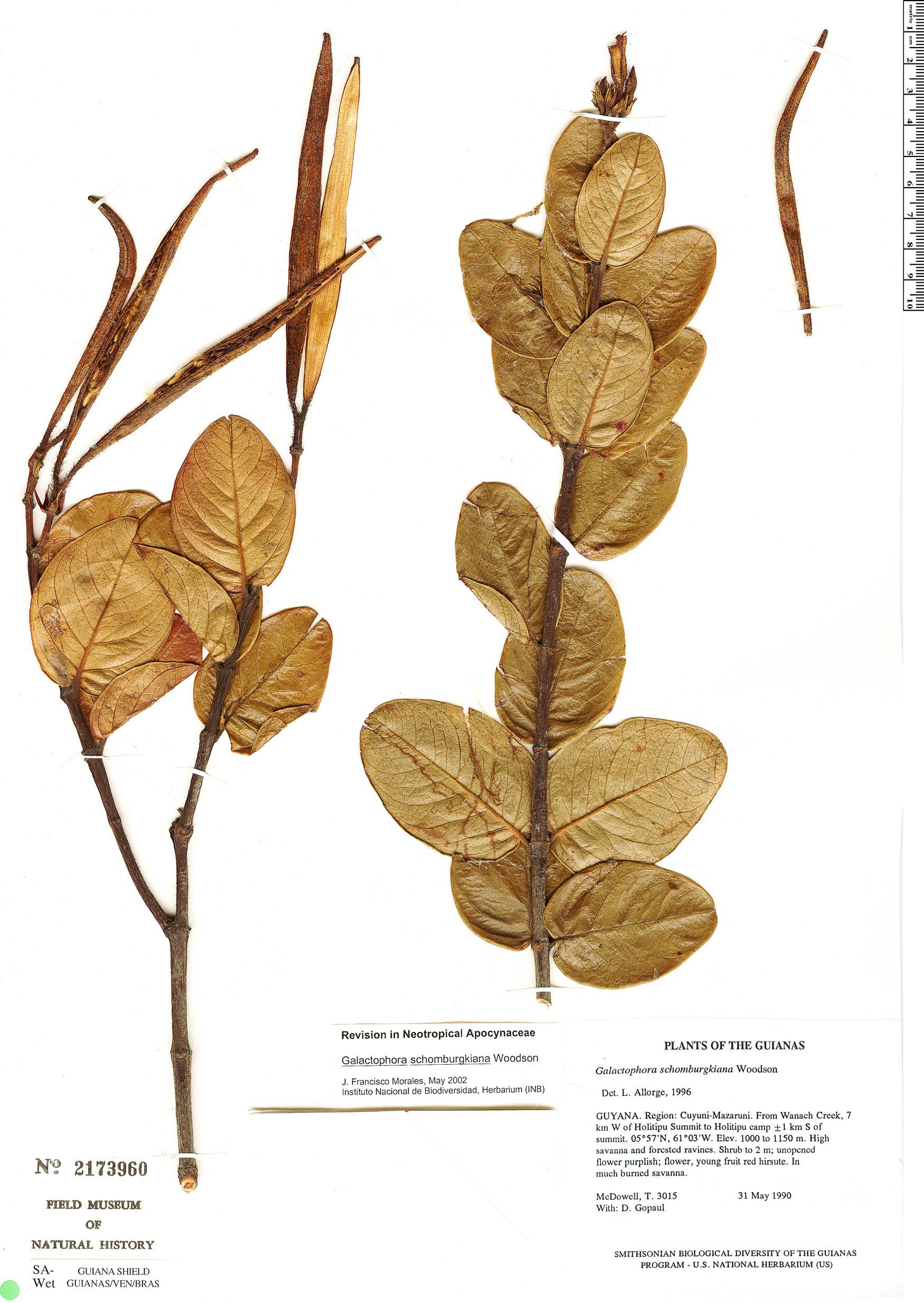 Specimen: Galactophora schomburgkiana
