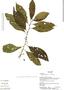 Cestrum microcalyx Francey, Ecuador, K. Romoleroux 2692, F