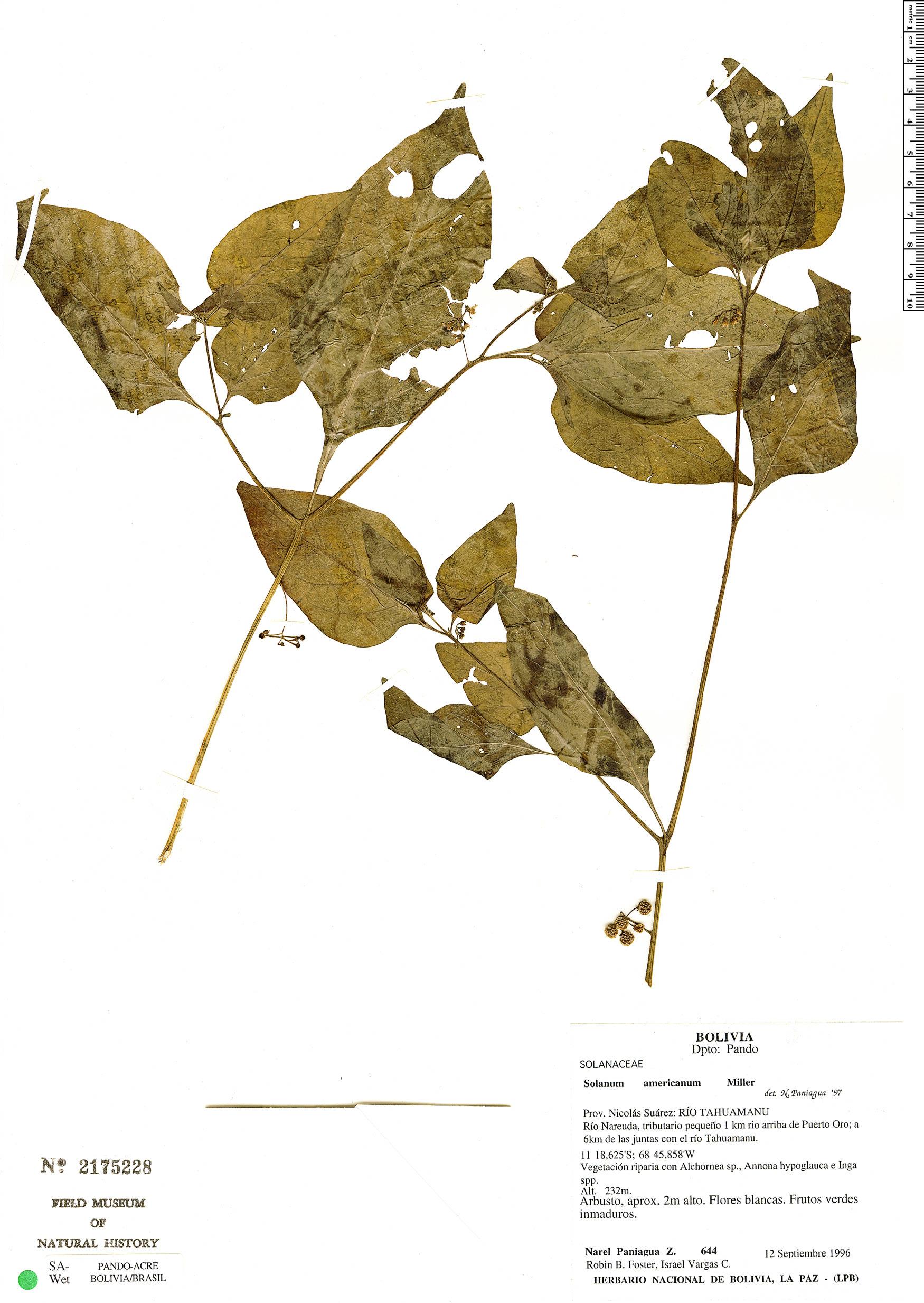 Specimen: Solanum americanum