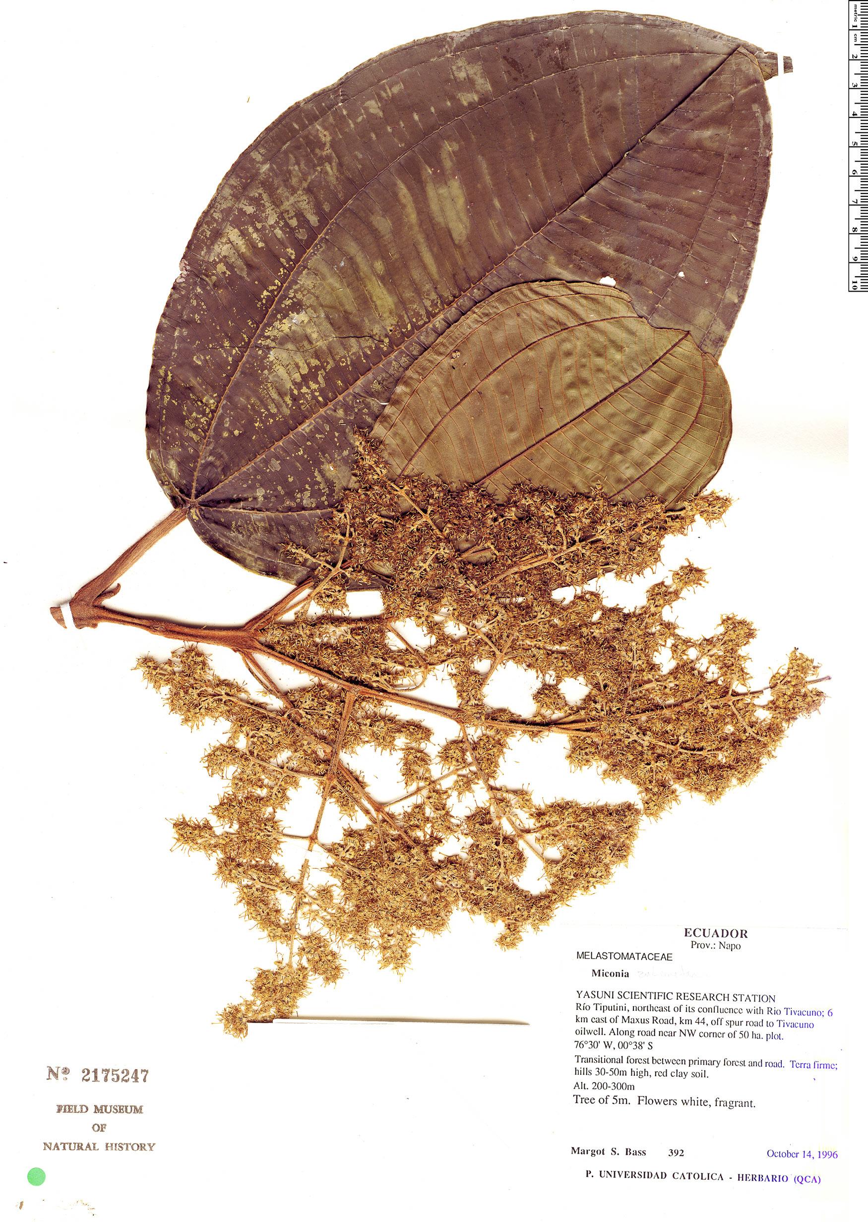 Espécimen: Miconia zubenetana