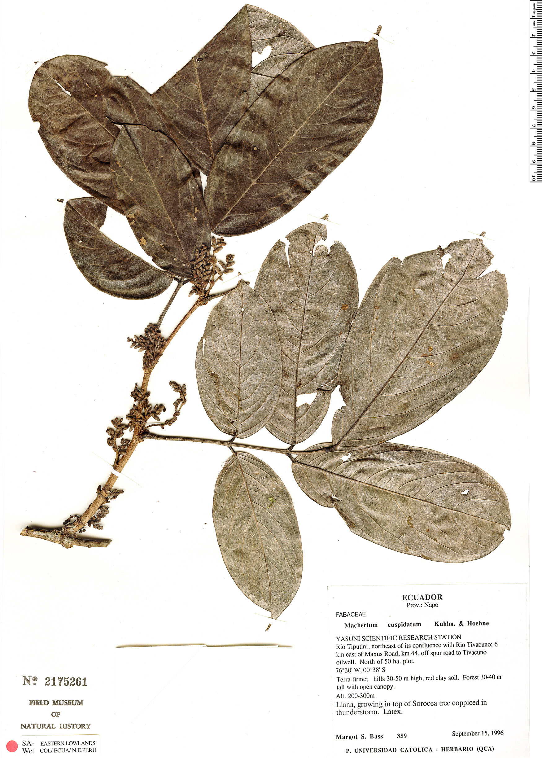 Specimen: Machaerium cuspidatum