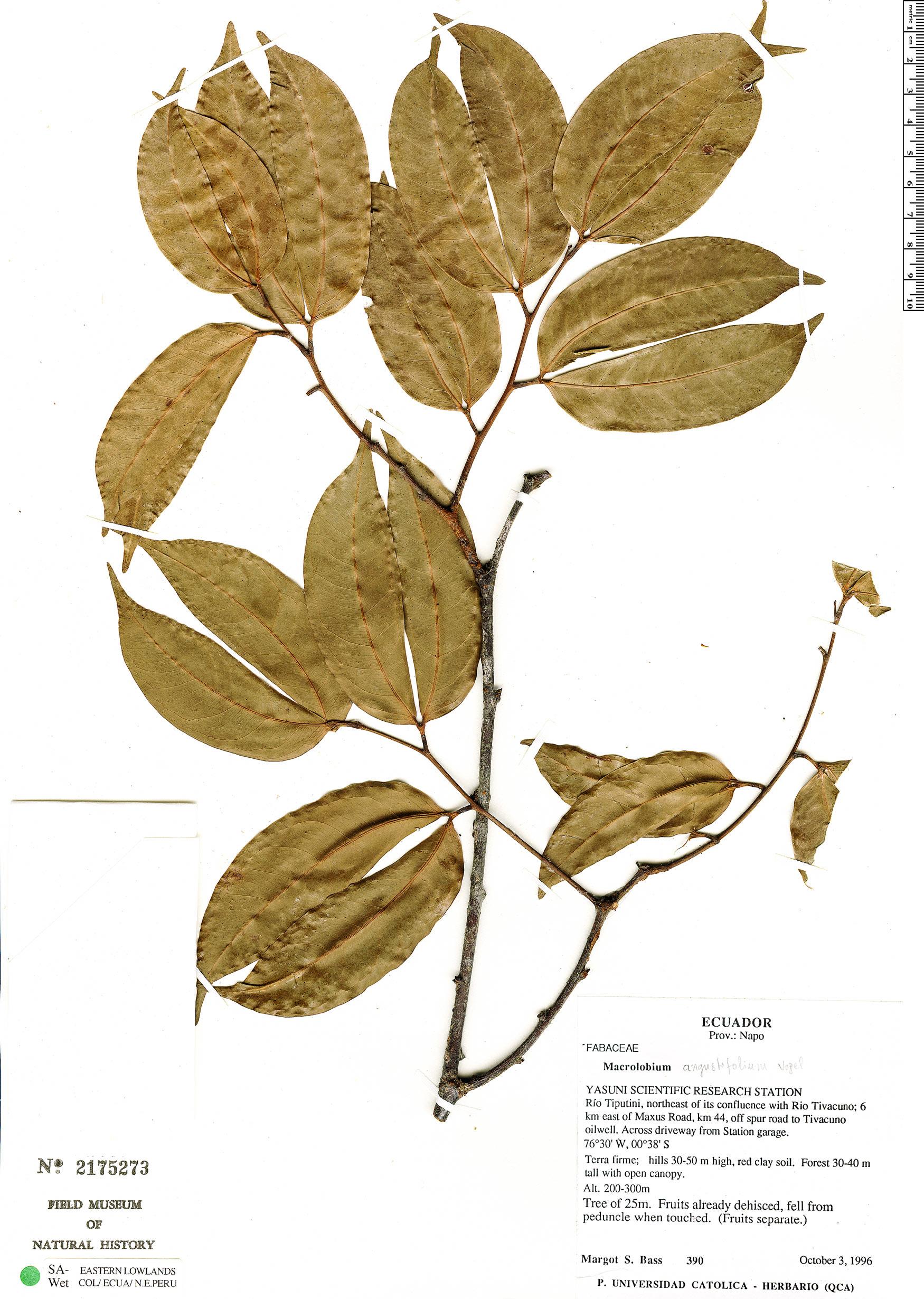 Espécimen: Macrolobium angustifolium