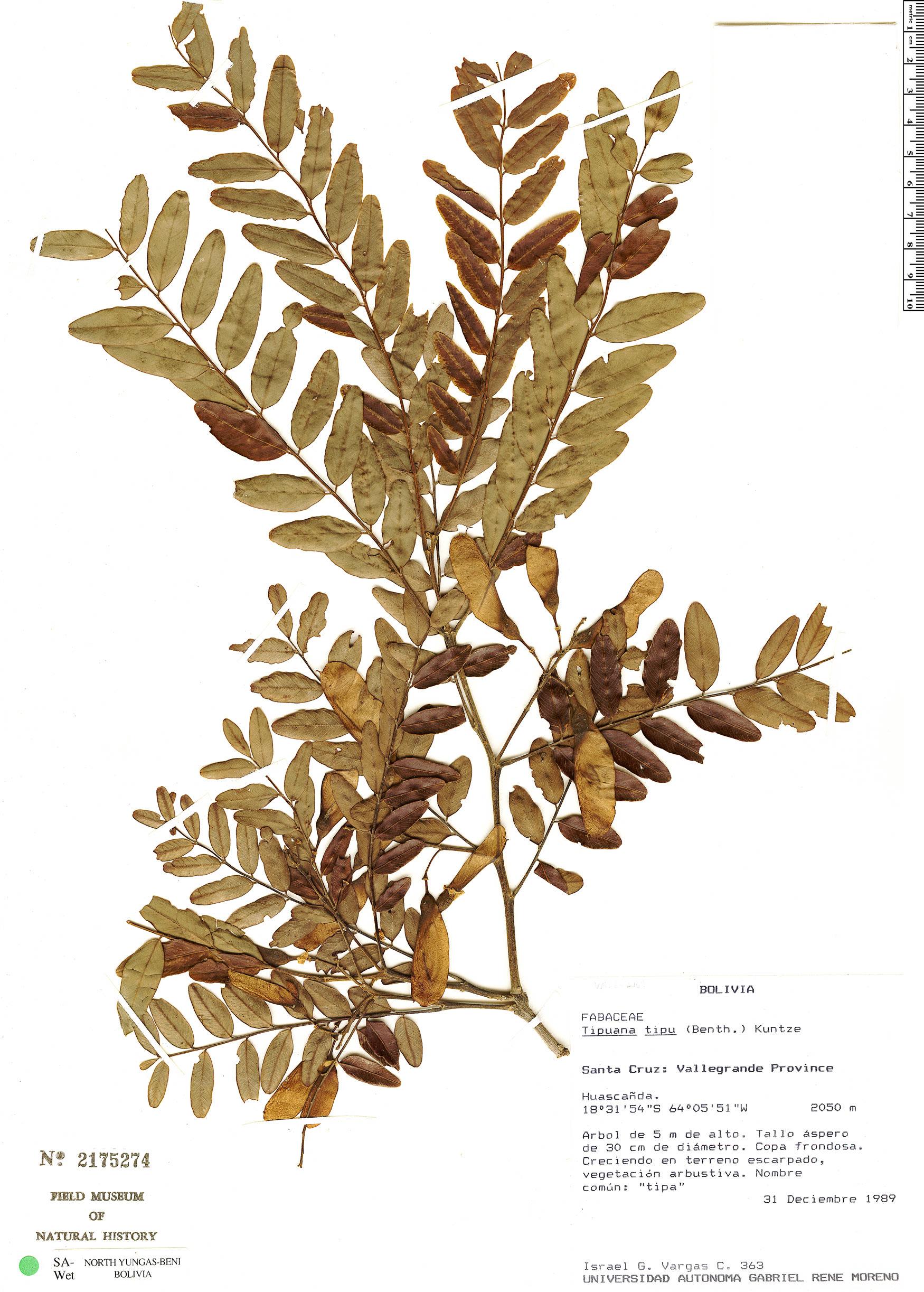 Specimen: Tipuana tipu