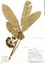 Cremastosperma leiophyllum R. E. Fr., Bolivia, I. G. Vargas C. 1113, F