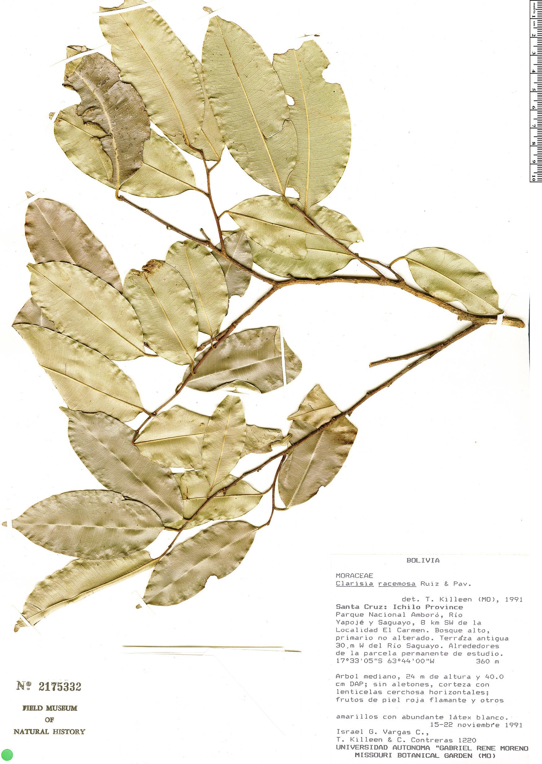 Specimen: Clarisia racemosa