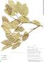Clarisia racemosa Ruíz & Pav., Bolivia, I. G. Vargas C. 1220, F