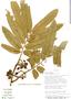 Virola flexuosa A. C. Sm., Bolivia, I. G. Vargas C. 1215, F
