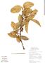 Garcinia gardneriana (Planch. & Triana) Zappi, Bolivia, M. Toledo 465, F