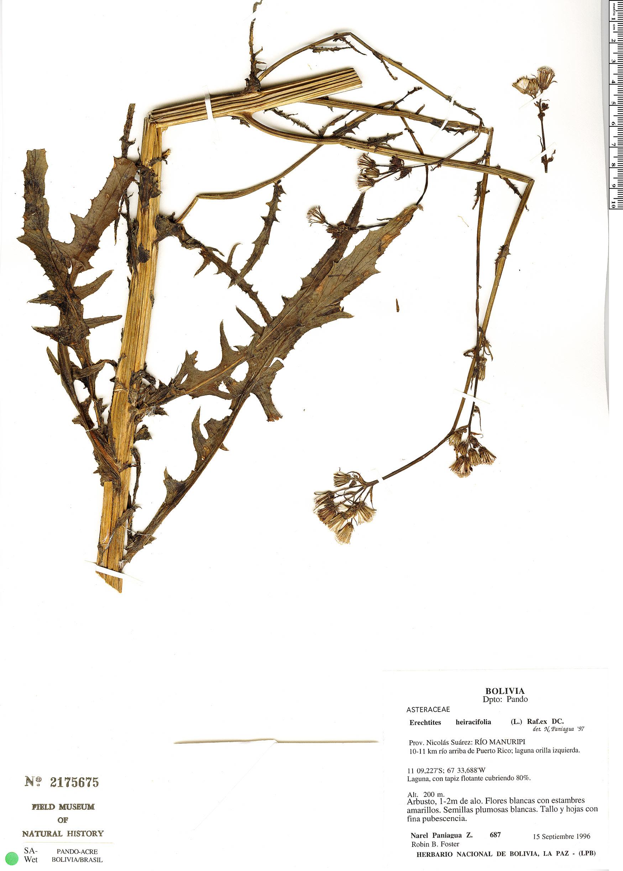 Specimen: Erechtites hieraciifolius
