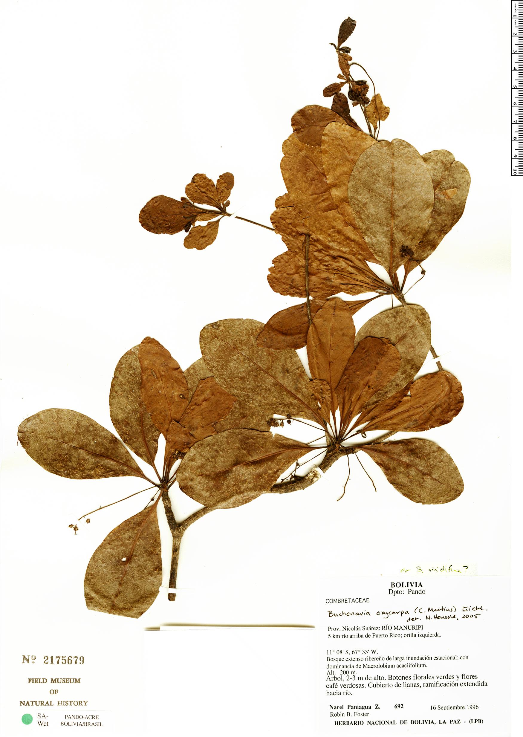 Specimen: Buchenavia oxycarpa