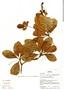 Buchenavia oxycarpa (Mart.) Eichler, Bolivia, N. Paniagua Z. 692, F