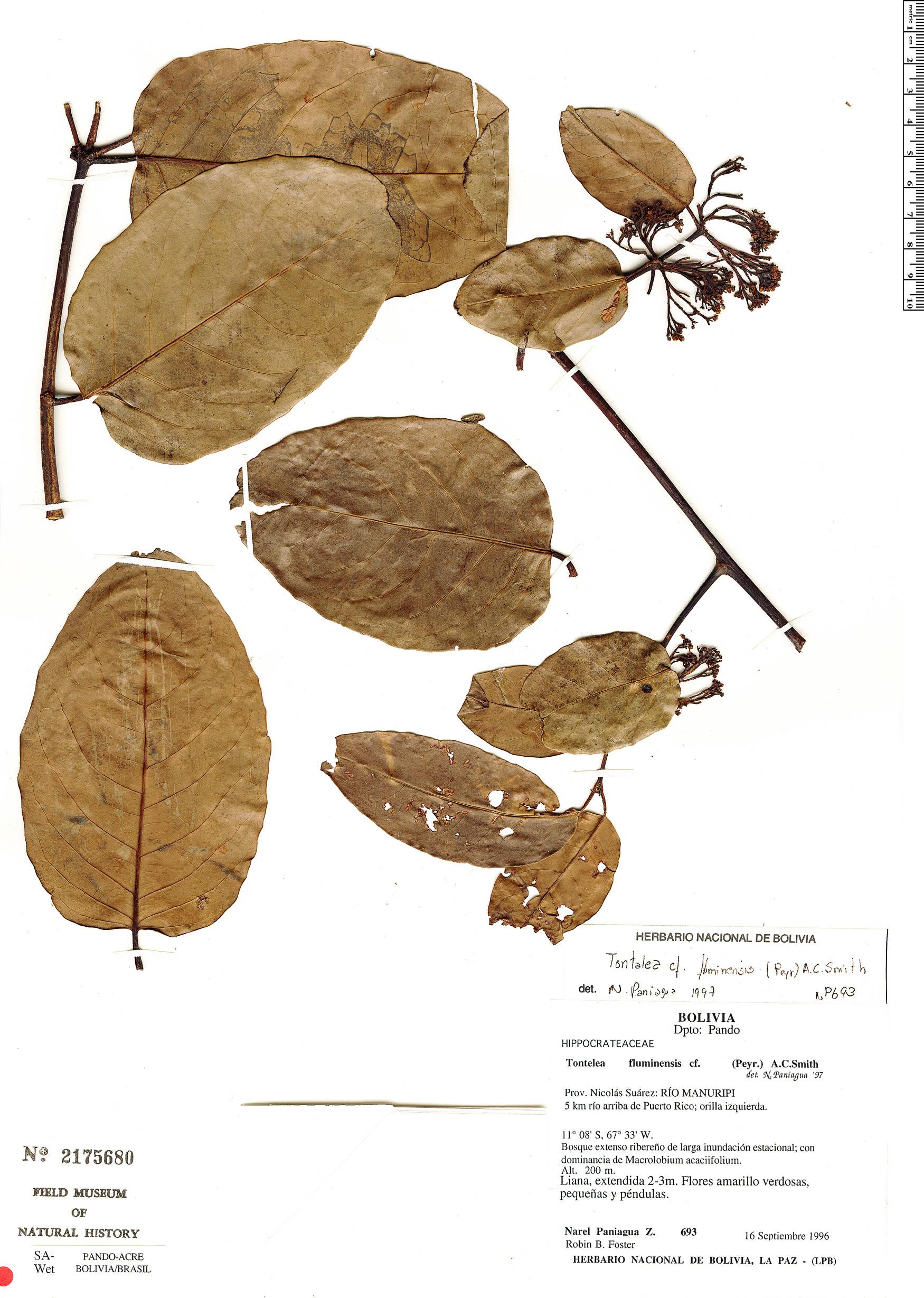 Specimen: Tontelea passiflora