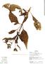 Adenostemma platyphyllum image