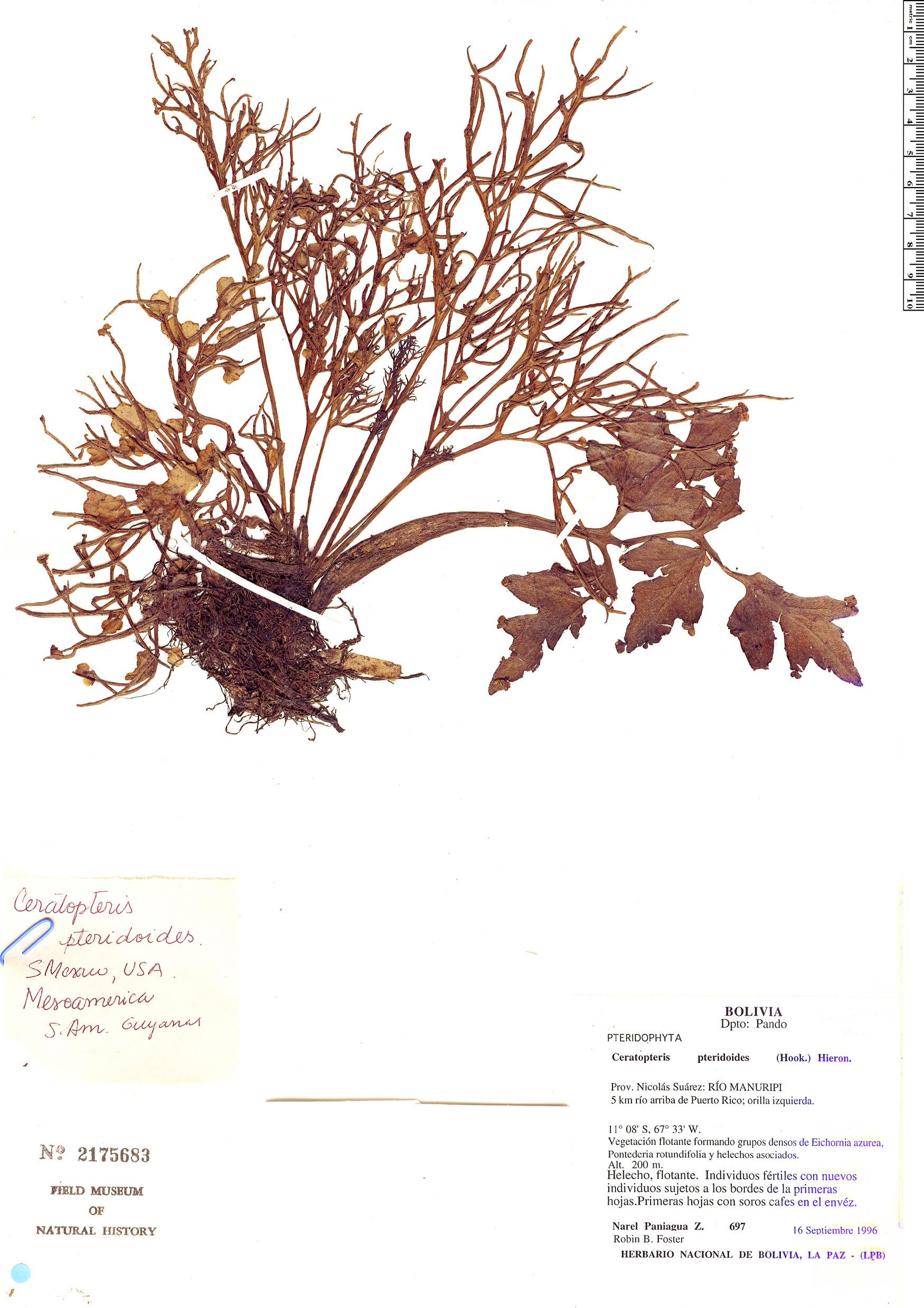Specimen: Ceratopteris pteridoides