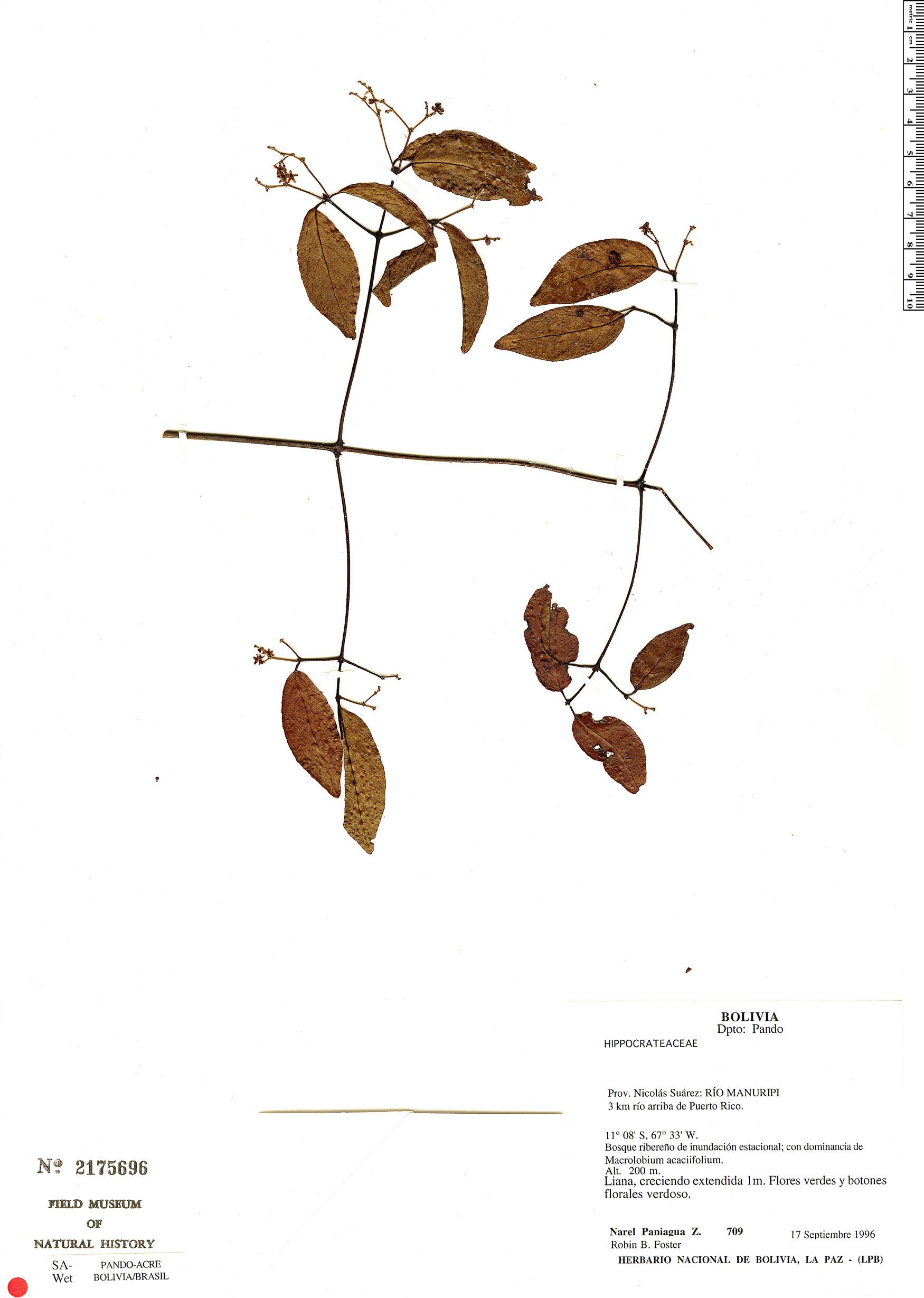 Specimen: Hippocratea volubilis