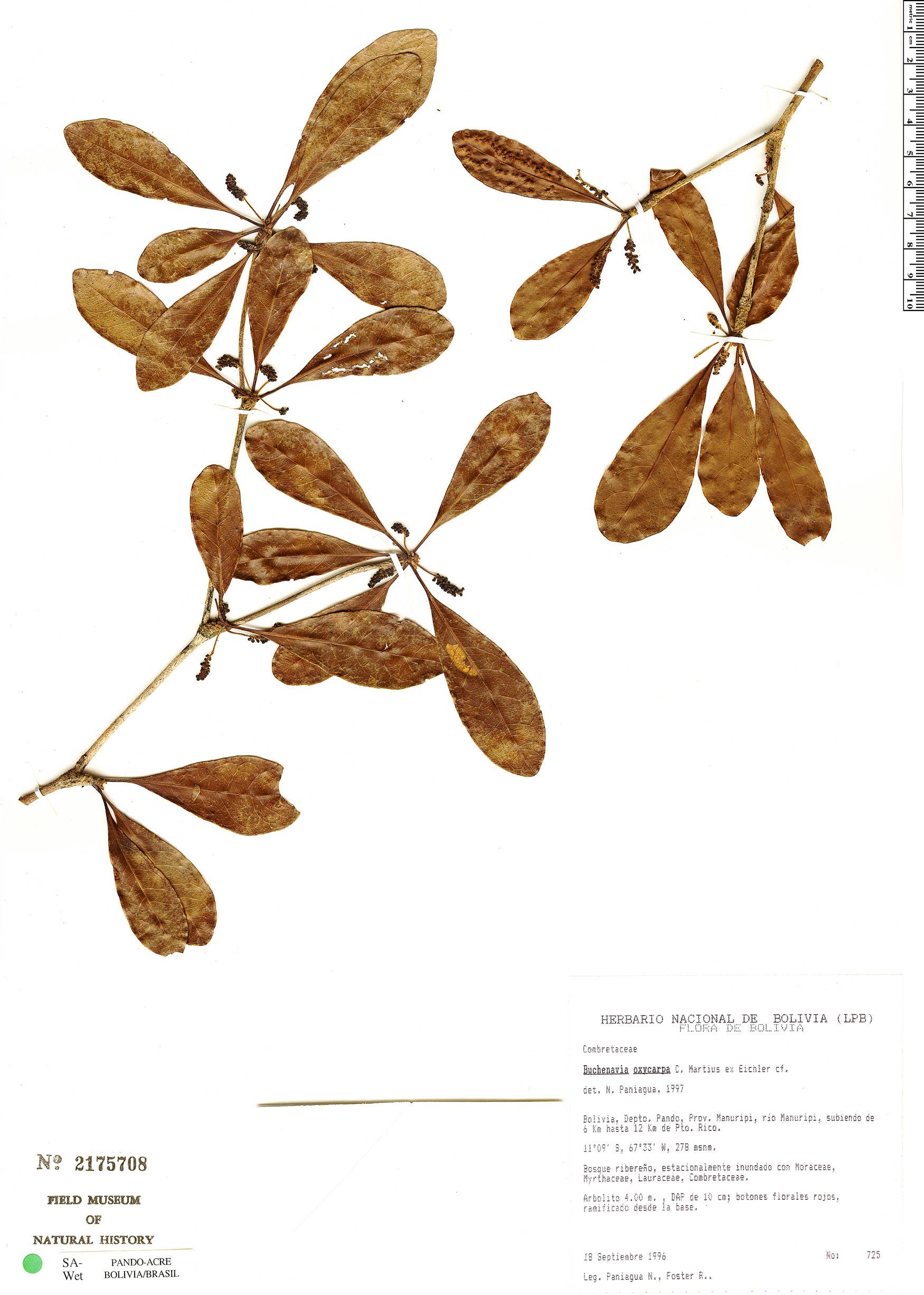 Espécime: Buchenavia oxycarpa