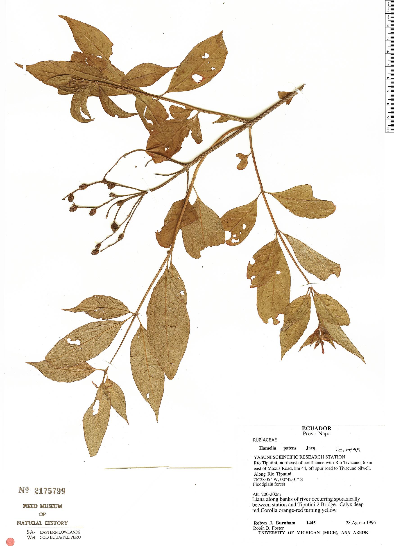 Espécimen: Hamelia patens