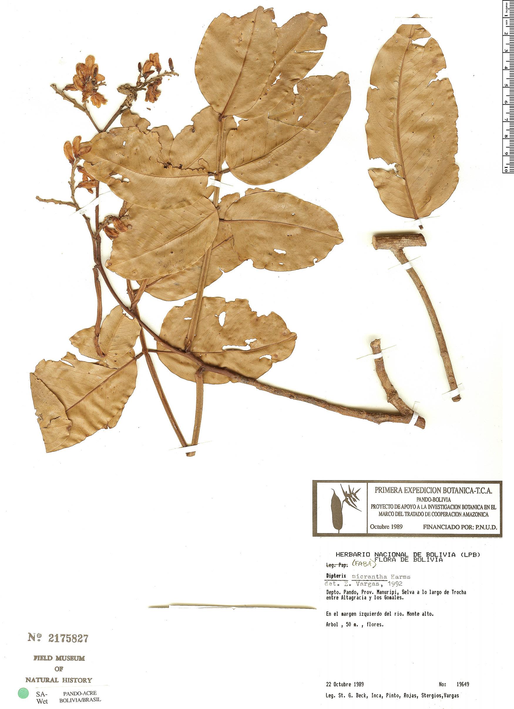 Espécime: Dipteryx micrantha