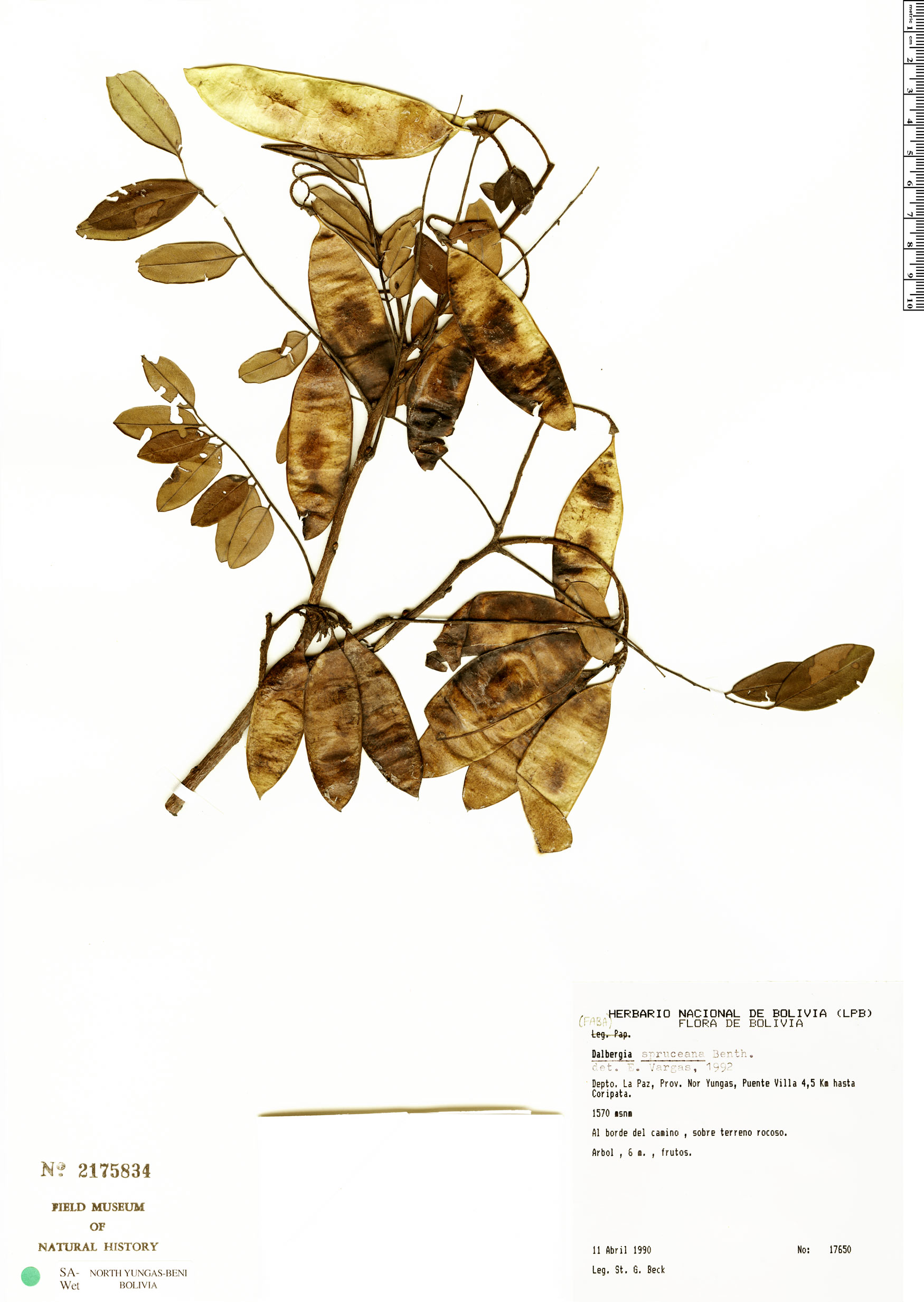 Specimen: Dalbergia spruceana