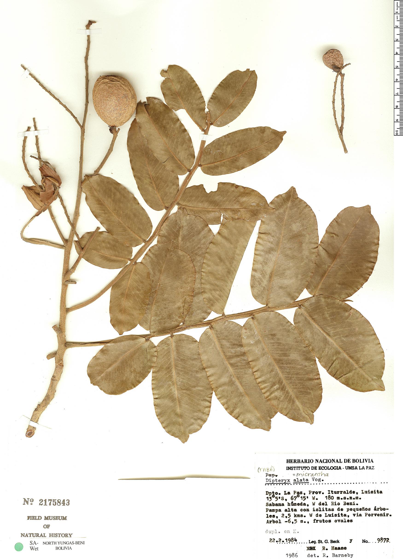 Specimen: Dipteryx alata