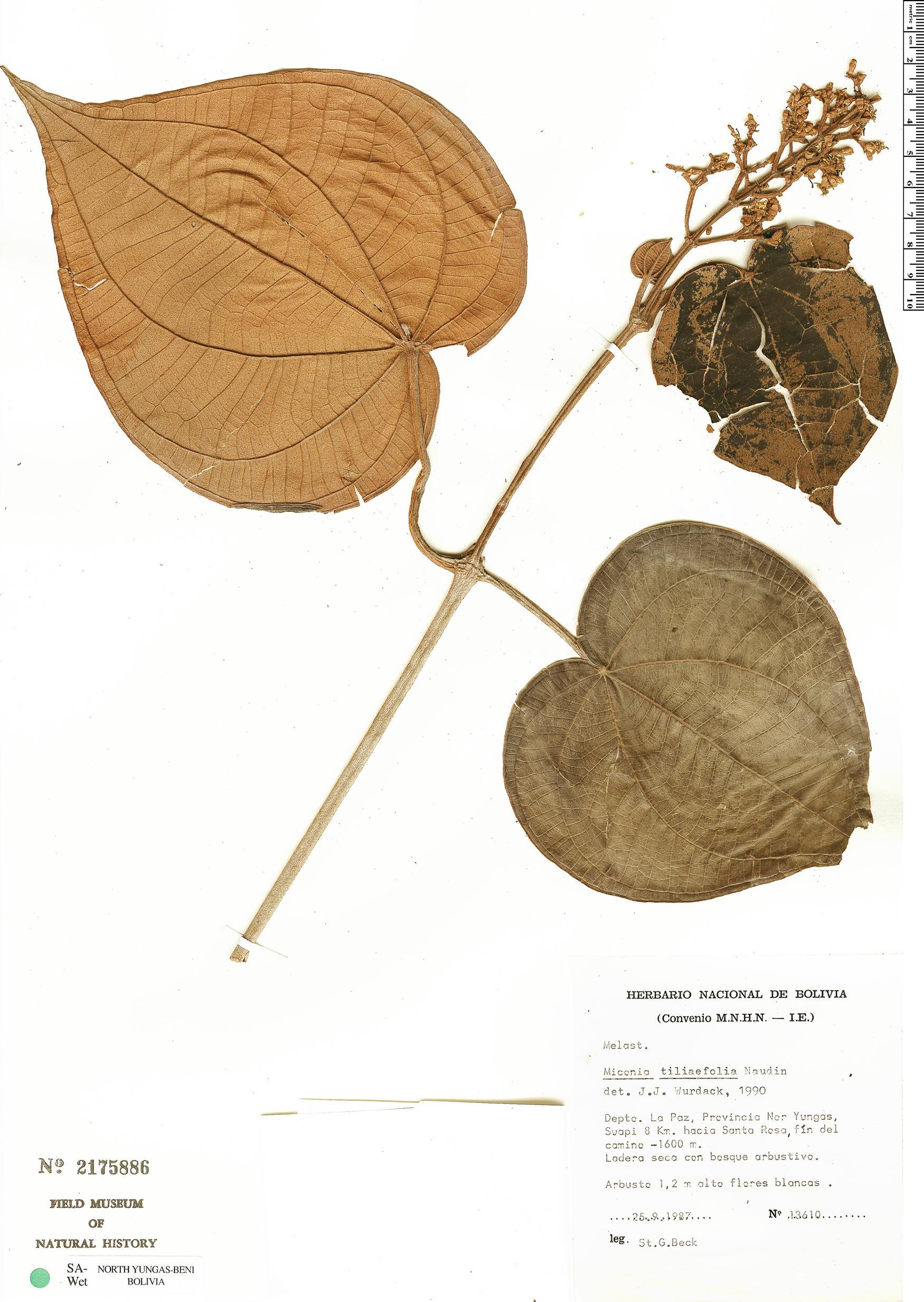 Espécime: Miconia tiliifolia