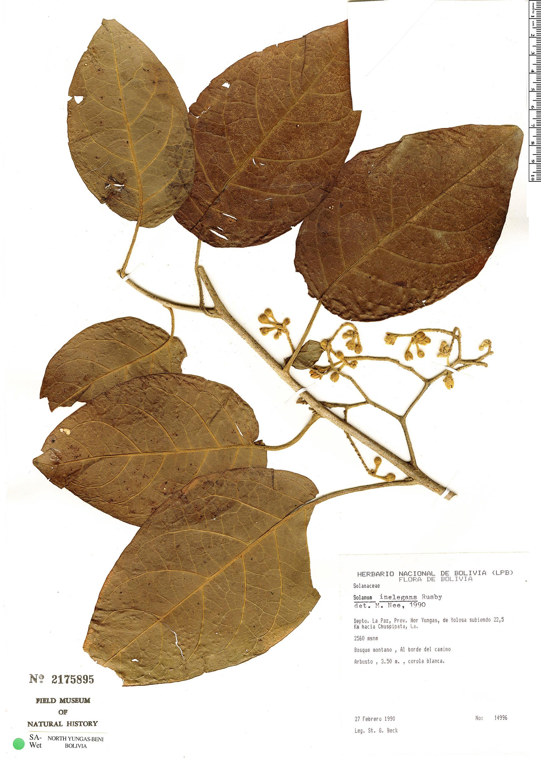Specimen: Solanum inelegans