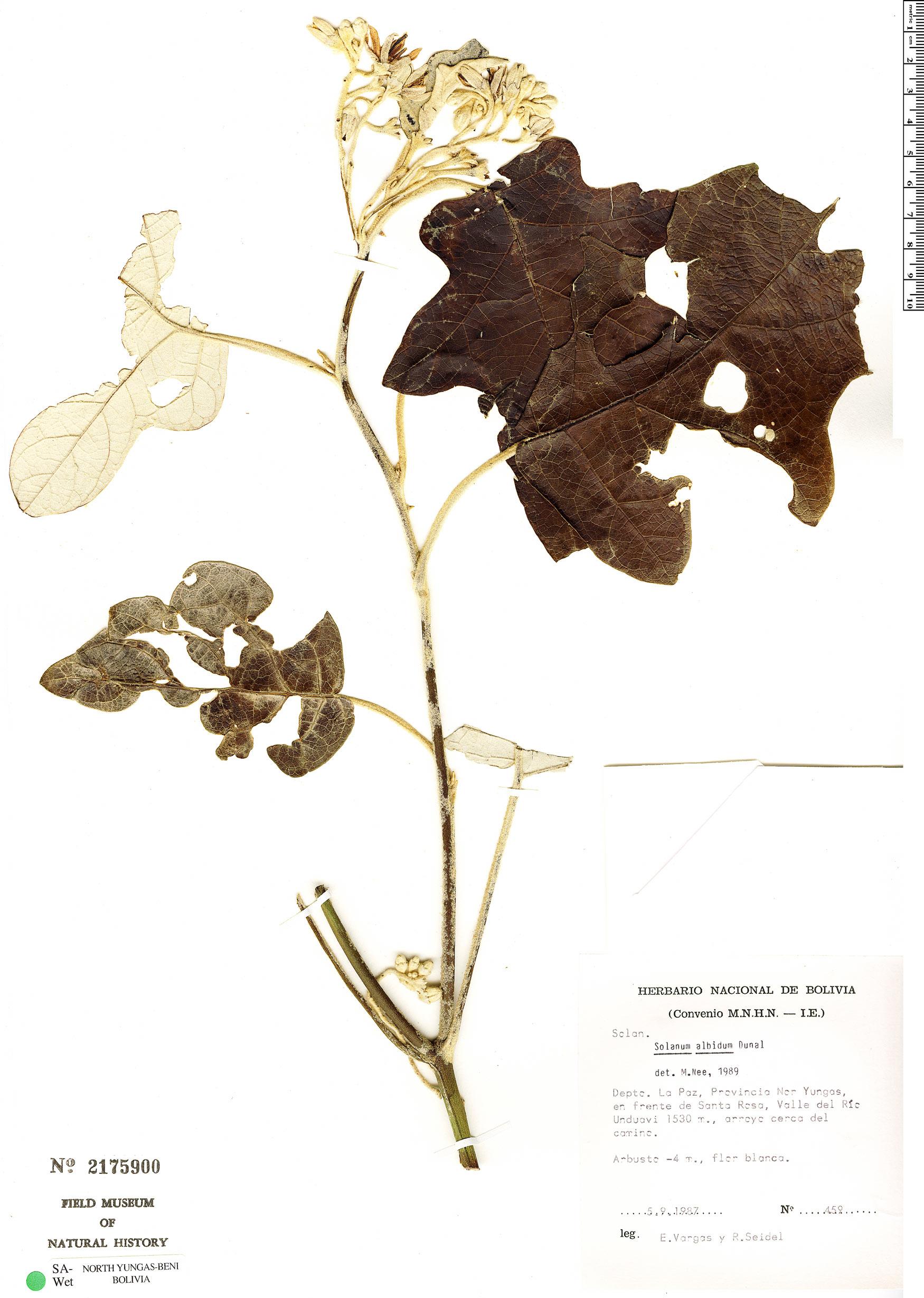 Specimen: Solanum albidum