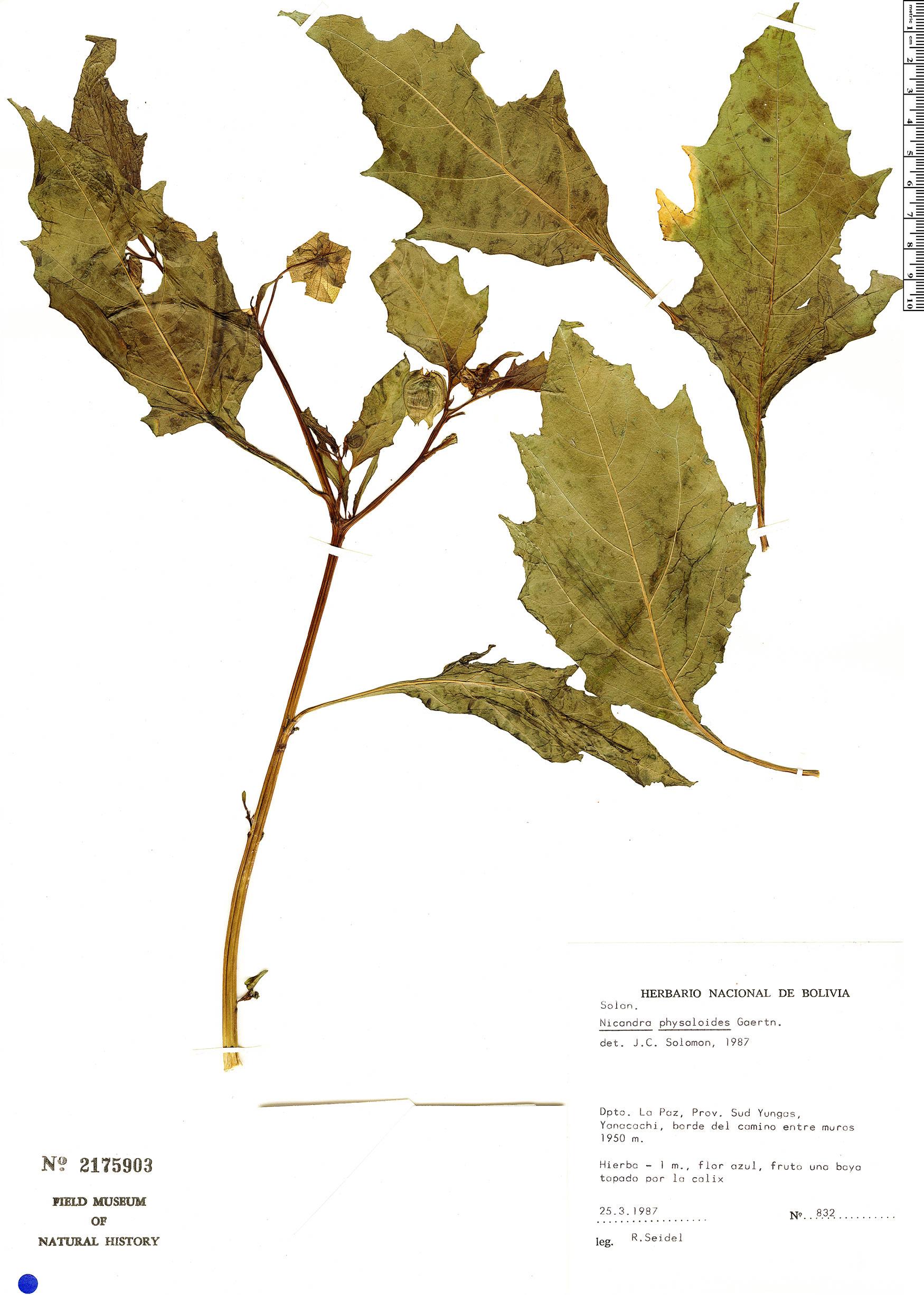 Specimen: Nicandra physalodes