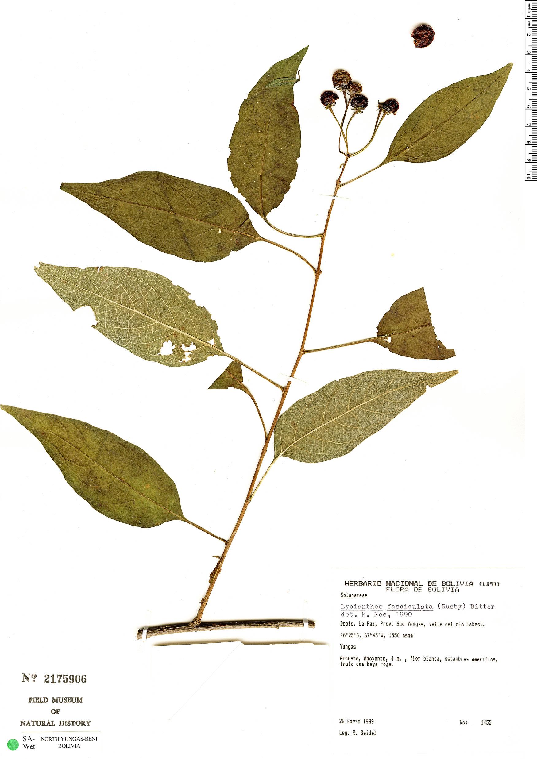 Espécime: Lycianthes fasciculata