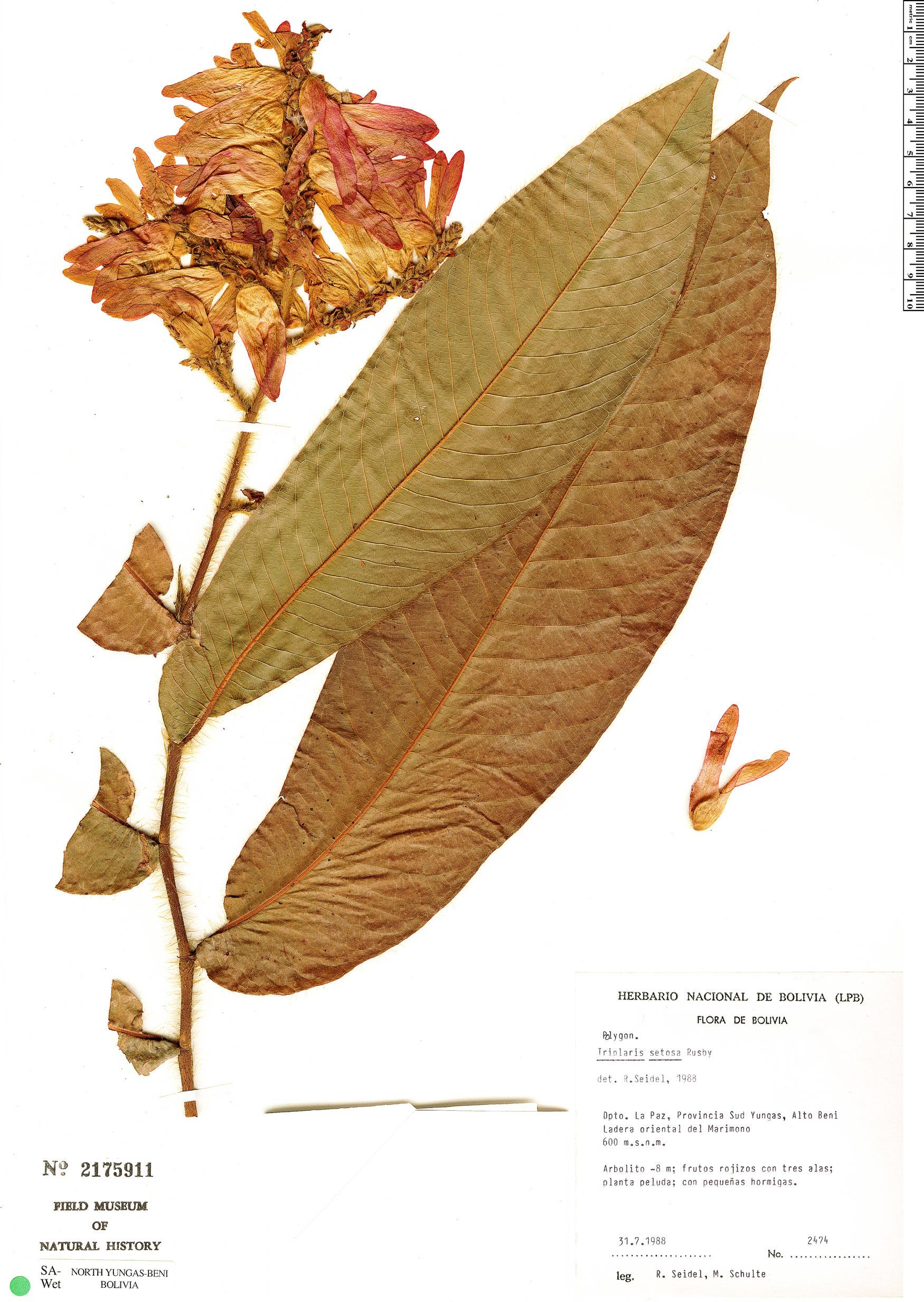 Specimen: Triplaris setosa