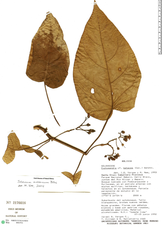 Specimen: Solanum maternum