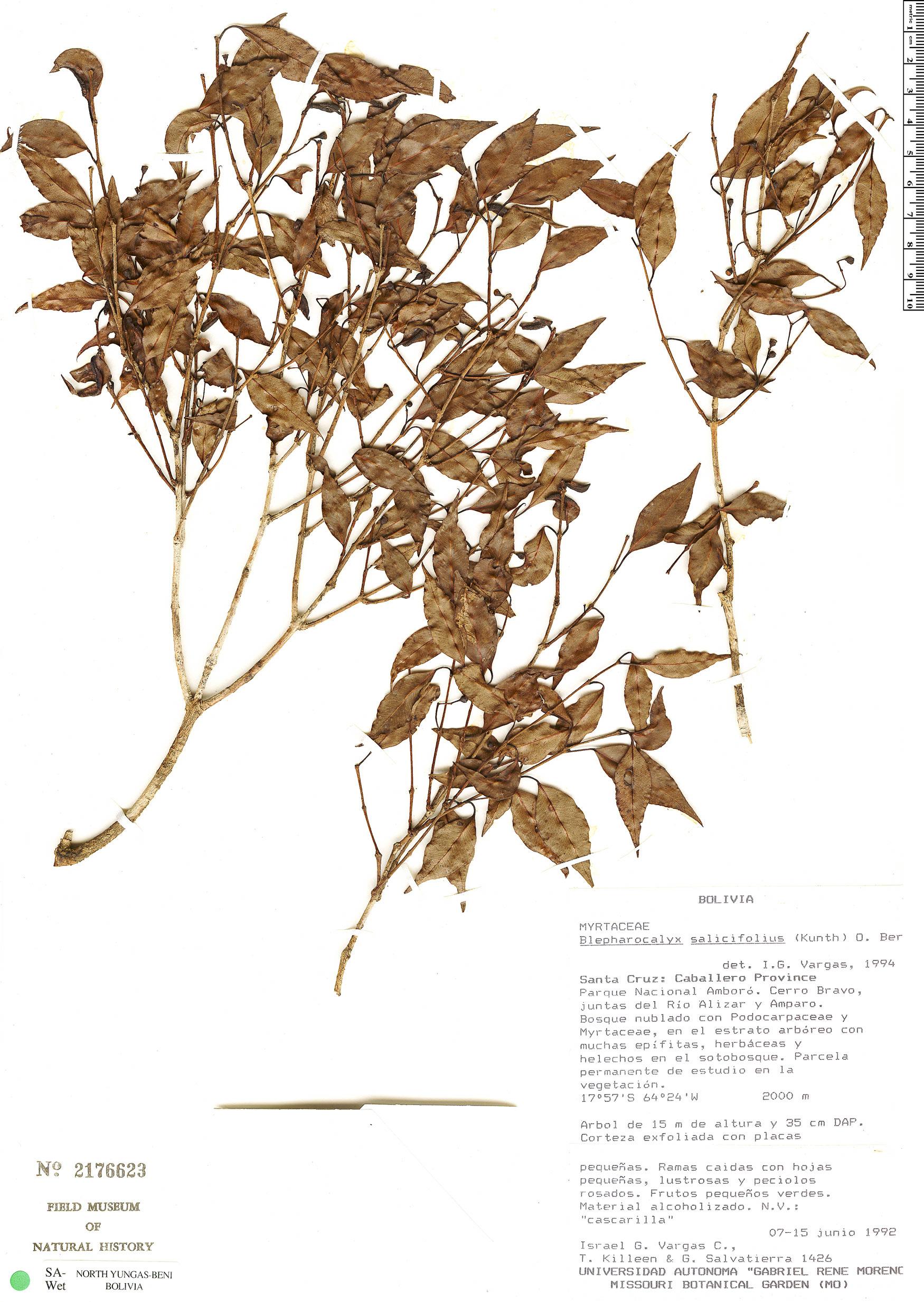 Espécimen: Blepharocalyx salicifolius