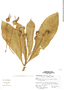 Centropogon altus image
