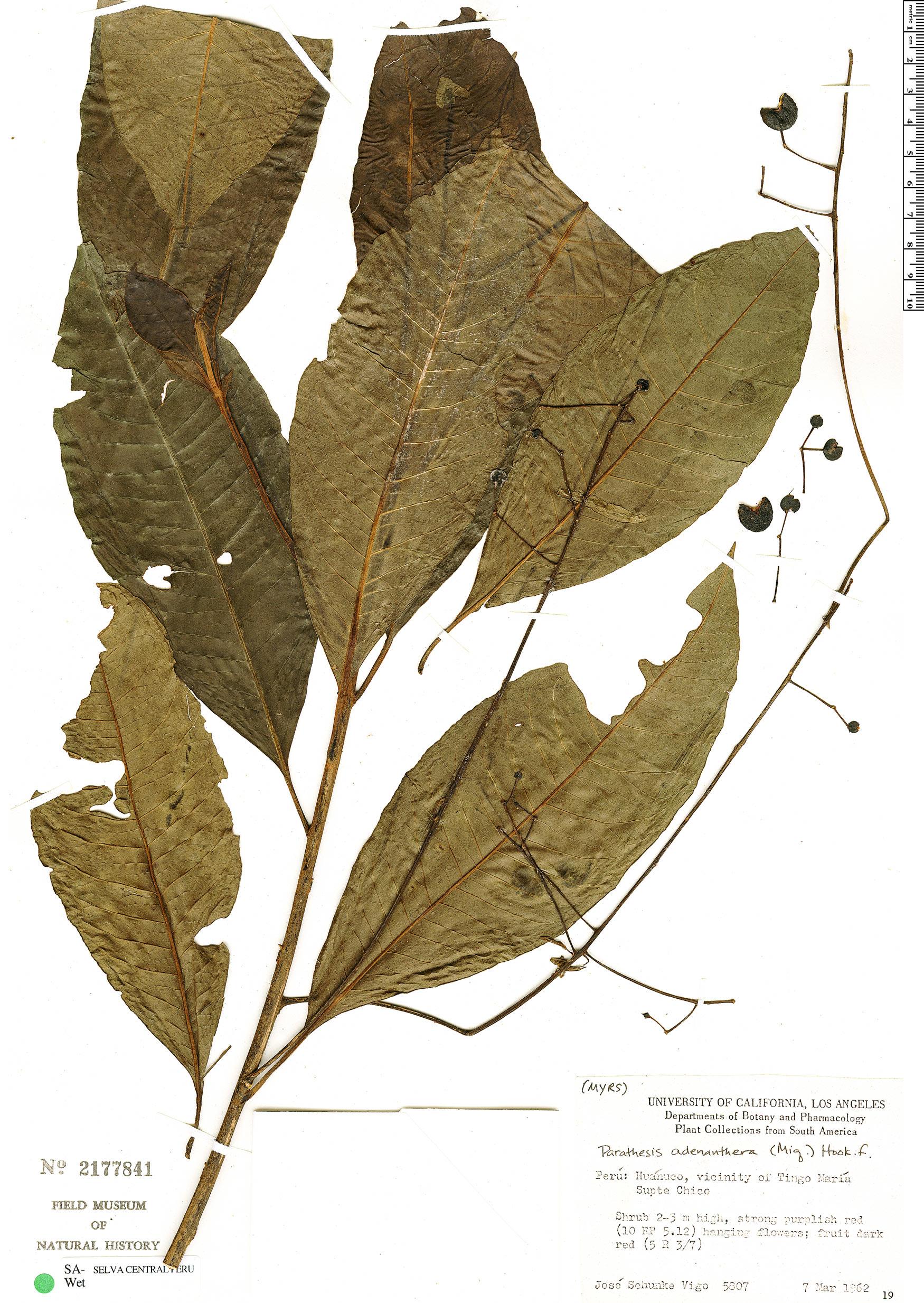 Specimen: Parathesis adenanthera