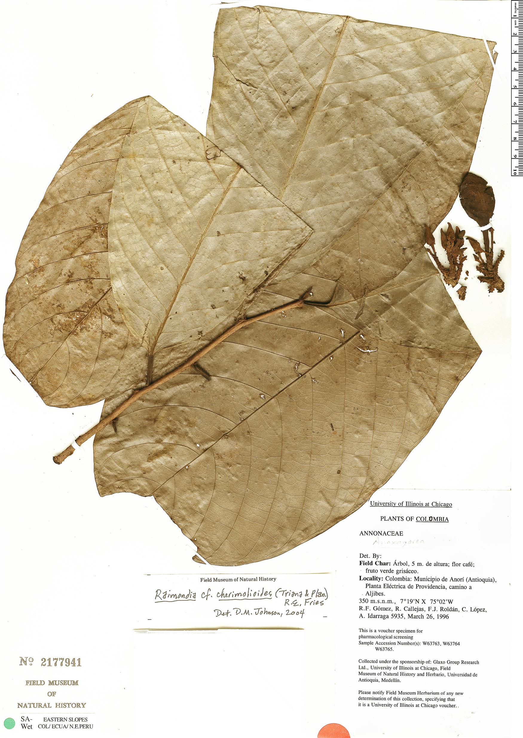 Specimen: Annona cherimolioides