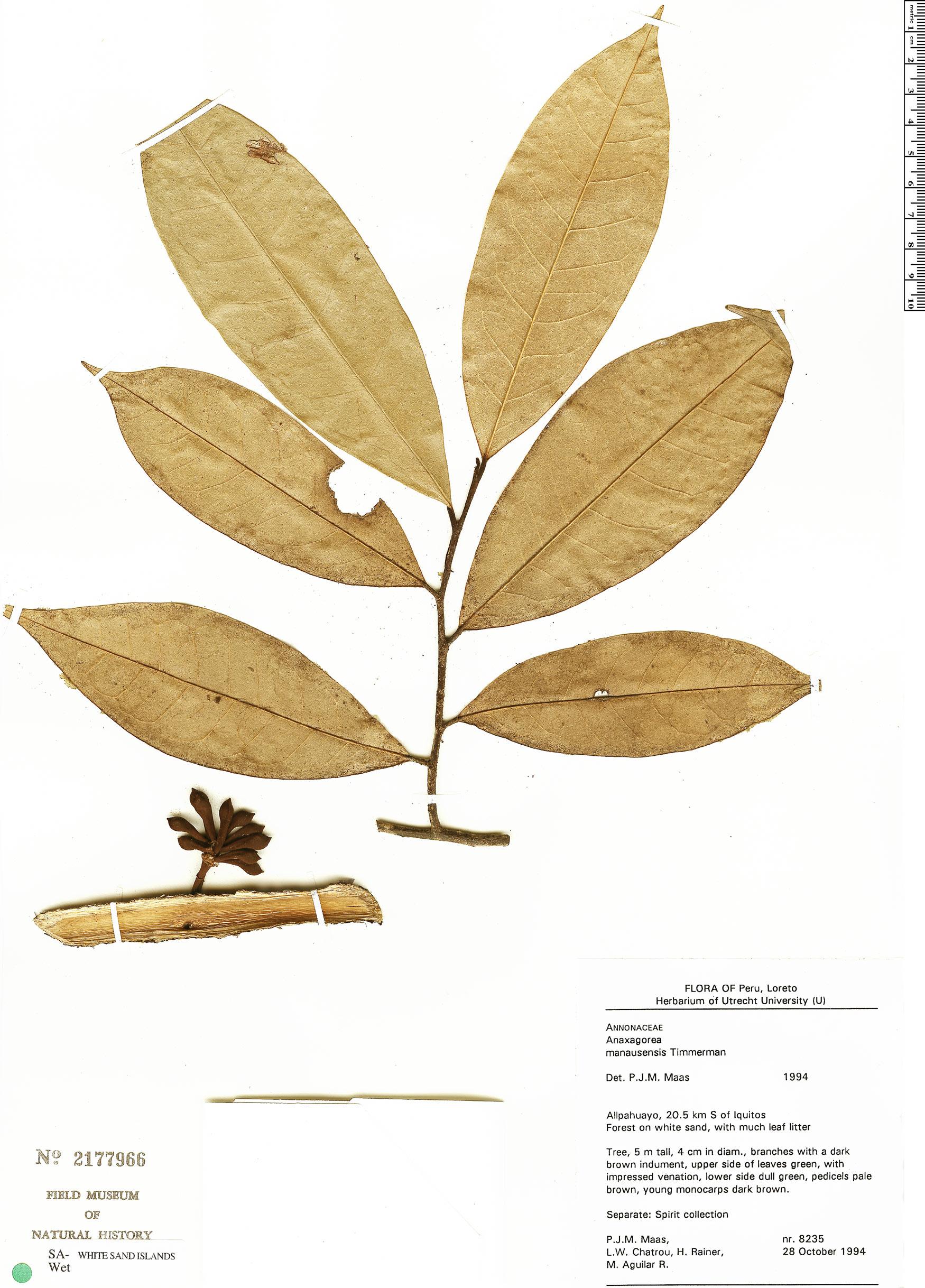 Specimen: Anaxagorea manausensis