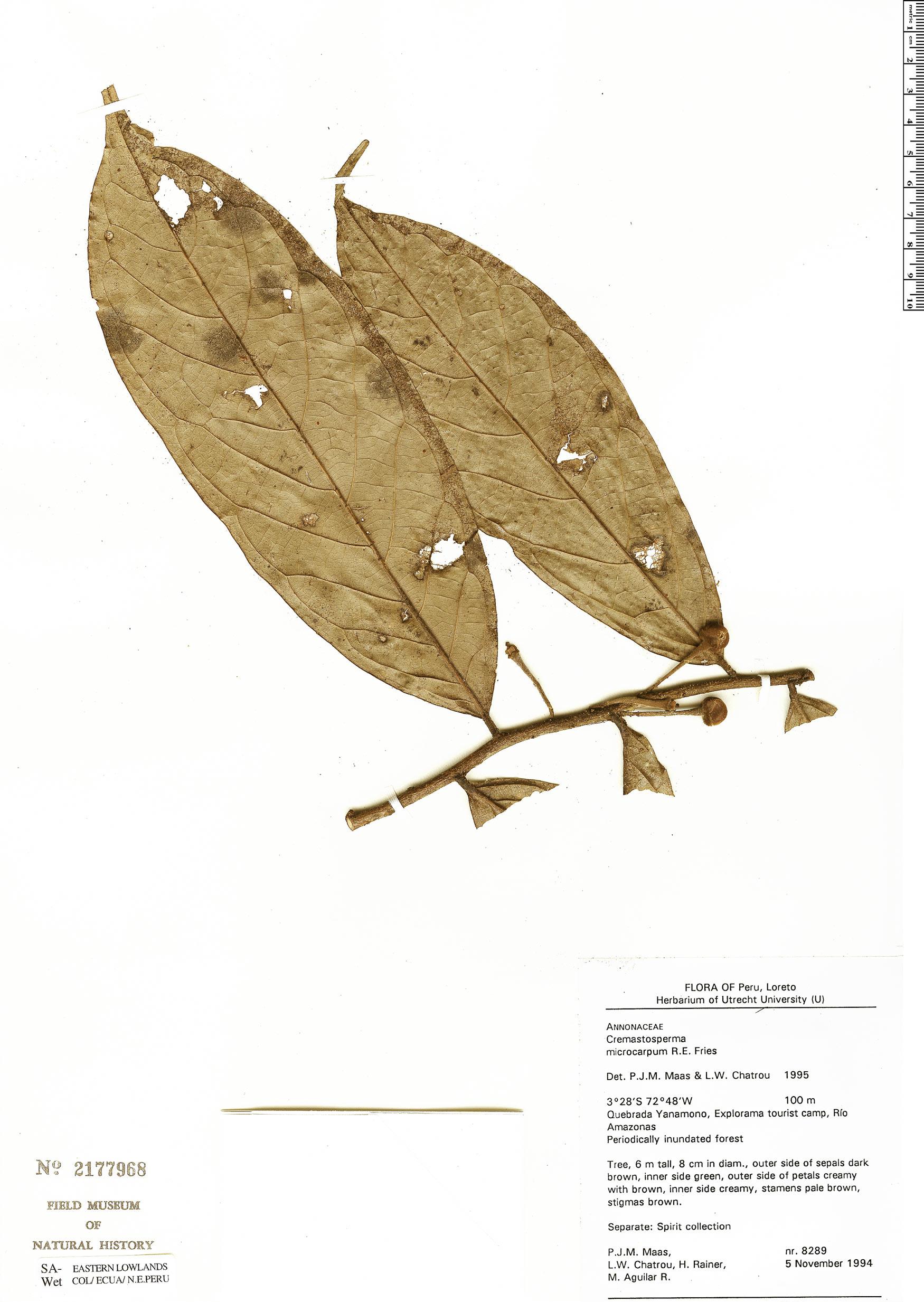 Specimen: Cremastosperma microcarpum