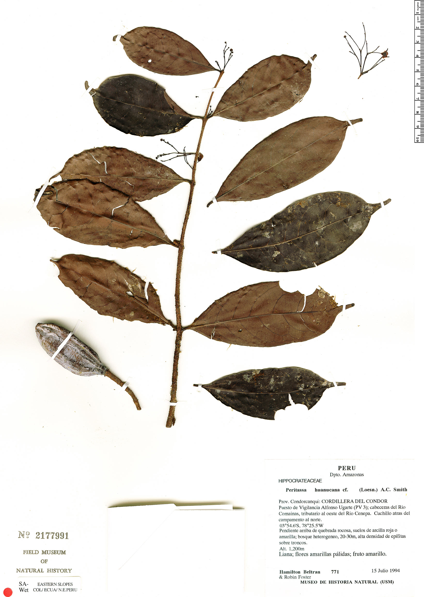 Espécimen: Peritassa huanucana