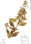 Chamissoa altissima (Jacq.) Kunth, Ecuador, R. J. Burnham 1469, F